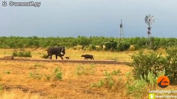 Смотреть Буйволёнок против слонёнка