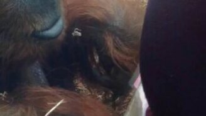 Смотреть Орангутан поцеловал живот беременной
