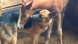 Смотреть Овчарка знакомится с жеребёнком