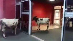 Коровы в торговом центре