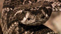 Смотреть Земляная кукушка против змеи