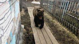 Медведь зашёл в гости смотреть видео прикол - 0:15