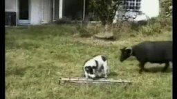 Собака vs баран смотреть видео прикол - 0:17