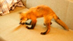 Смотреть Смешная домашняя лисичка