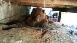 Смотреть Прогнал гордого медведя