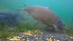 Смотреть Реакция речной рыбы на кукурузу