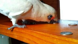 Разъярённый попугай смотреть видео прикол - 2:40