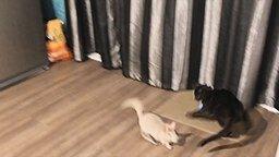 Кот против шиншиллы смотреть видео прикол - 2:24