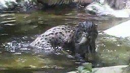 Виверровый кот-рыболов смотреть видео - 0:30
