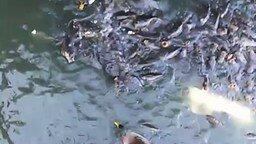 Смотреть Рыбы воюют с утками за еду