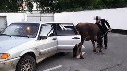 Смотреть Полицейские вернули хозяину украденную корову