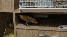 Попугай-альпинист