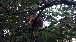 Смотреть Белка кушает грушу