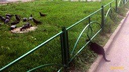 Смотреть Жадность голубя сгубила