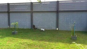 Смотреть Собачья погоня за петухом-хулиганом