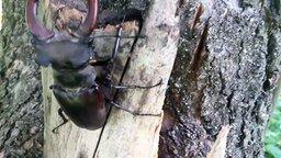 Смотреть Потрясающий жук-олень