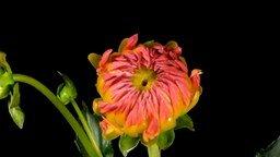Смотреть Как распускаются цветы?
