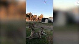 Смотреть Львы преследуют дрон