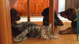Смотреть Щенята и расслабленный кот