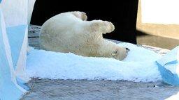 Смотреть Медведица в зоопарке радуется августовскому снегу