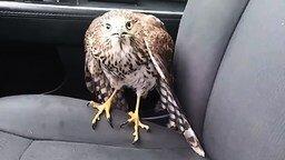Смотреть Дикий ястреб спрятался от урагана в авто