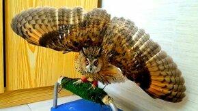 Смотреть Угрожающе красивая сова