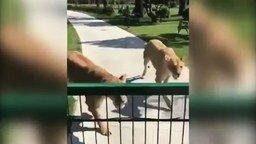 Смотреть Встреча с львицами, которых выкормила