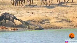 Смотреть Как бегемоты спасли антилопу от крокодила