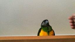 Смотреть Попугай чудит перед рукой