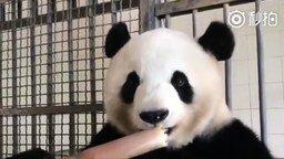 Смотреть Панда ест бамбук