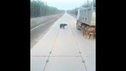 Смотреть Медведь-попрошайка на дороге