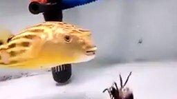 Смотреть Какая всеядная рыба!