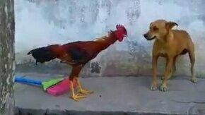 Смотреть Петух гоняет пса