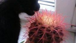 Смотреть Котёнок пожирает кактус
