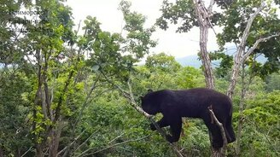 Смотреть Медведи-древолазы собирают жёлуди