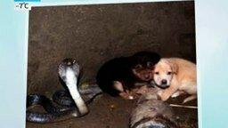 Кобра спасла щенков смотреть видео прикол - 0:40
