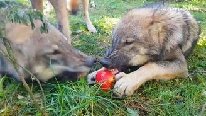 Смотреть Волки и яблоко