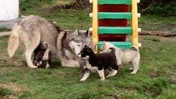 Смотреть Милые щенята хаски