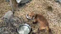 Смотреть Спасли умирающего лисёнка