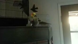Попугай после сношения смотреть видео прикол - 0:42