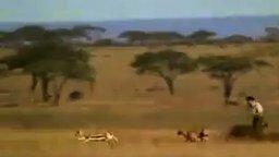 Как человек вырвал добычу у гепарда смотреть видео прикол - 0:18