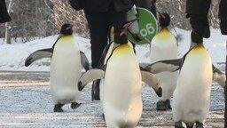 Смотреть Пингвины на прогулке