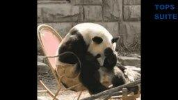 Весёлые и милые панды смотреть видео прикол - 1:34