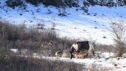 Смотреть Лошадь среди волков
