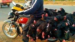 Перевозка сорока кур на мотоцикле