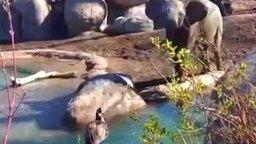 Серый гусь против слонёнка