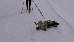 На лыжах с собакой смотреть видео прикол - 1:20