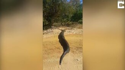 Змея переползает дорогу смотреть видео прикол - 0:32