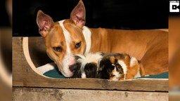 Смотреть Дружба пса и морских свинок