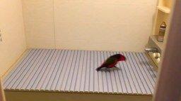 Попугай топочет смотреть видео прикол - 0:31
